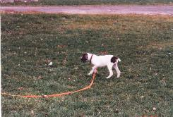 Bird dog puppy with a strong drive