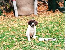 Youg pointer puppy