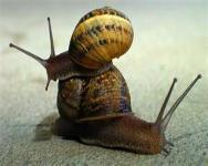 Snails can pass the lung worm by being eaten by your dog